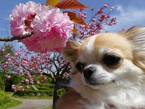 八重桜 杏子