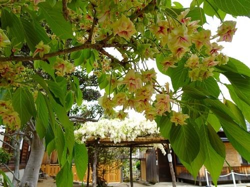 松応寺 白い藤 御衣黄桜