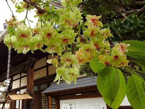 松応寺 御衣黄桜