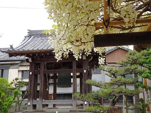 松応寺 白い藤