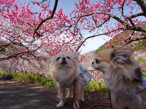 花桃の里 柚子 杏子