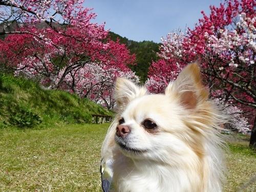 花桃の里 柚子