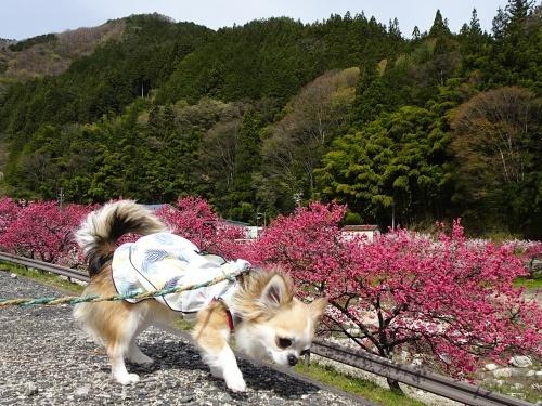 花桃の里 杏子
