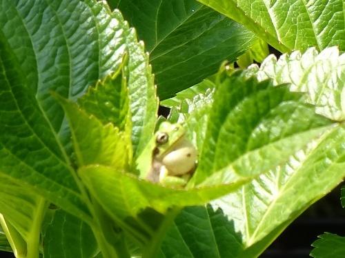 紫陽花 アマガエル