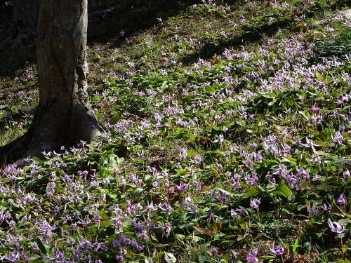 香嵐渓 カタクリの花
