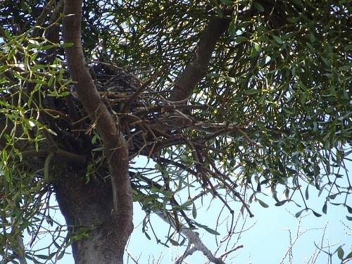 カラスの巣?