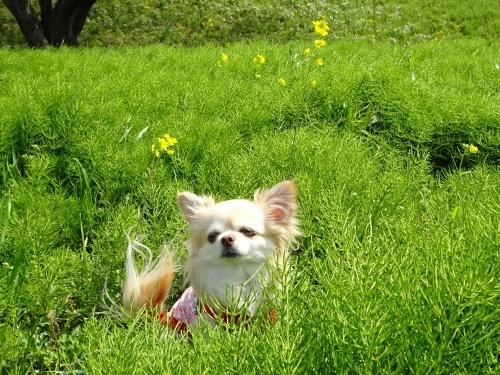 木曽三川公園 背割り堤の桜 柚子