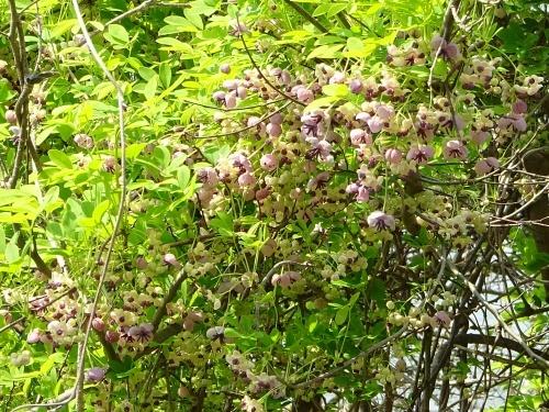 木曽三川公園 アケビの花