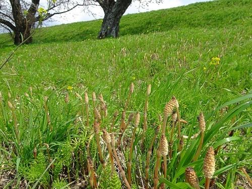 木曽三川公園 背割り堤の桜 土筆