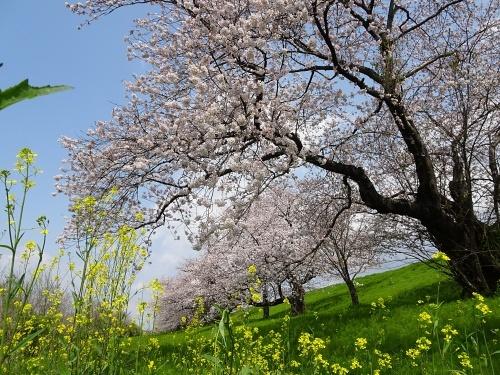 木曽三川公園 背割り堤の桜