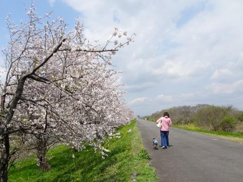 木曽三川公園 背割り堤の桜 saeko mama 福助くん