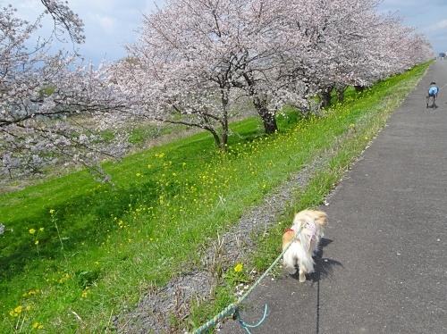 木曽三川公園 背割り堤の桜 福助くん 柚子