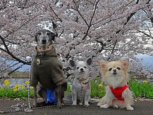 木曽三川公園 背割り堤の桜 福助くん ぴぃ助くん 柚子
