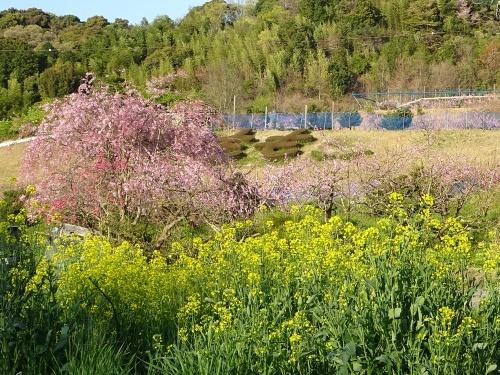 桃の花 枝垂れ桜 菜の花 花桃