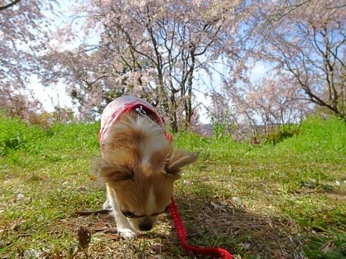 枝垂れ桜 杏子