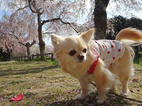 枝垂れ桜 柚子