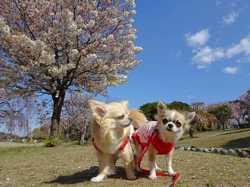 枝垂れ桜 柚子 杏子