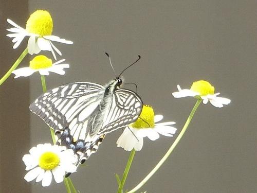 カモミール アゲハ蝶