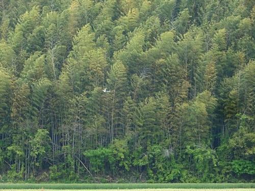 竹林 アオサギ
