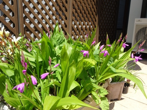 我が家の庭にて 紫蘭