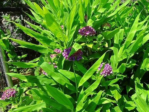 我が家の庭にて 紫陽花