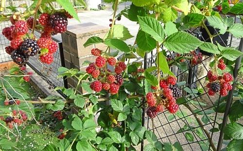 我が家の庭にて ブラックベリー