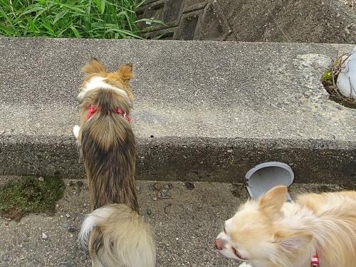 ご近所散歩♪ 柚子 杏子