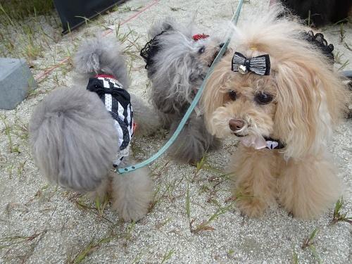 犬市場in岡崎 ティアラちゃん