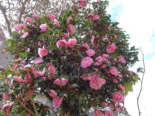 我が家の庭にて 山茶花