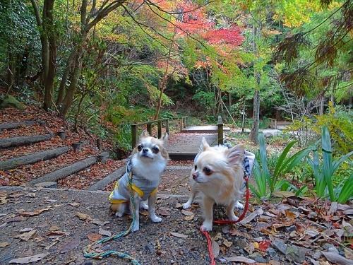 紅葉散歩 柚子 杏子