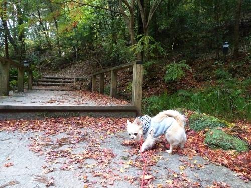 紅葉散歩 柚子