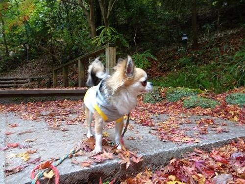 紅葉散歩 杏子