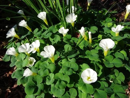 オキザリス白花 バリアビリス