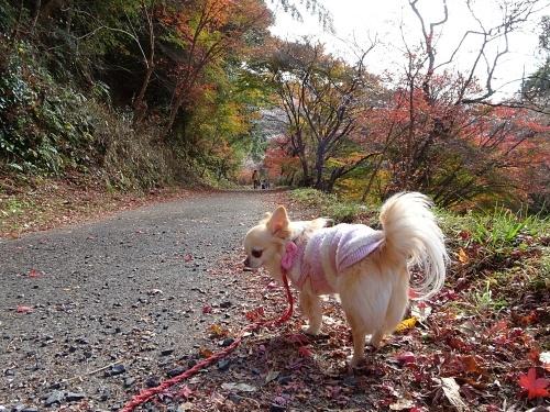 川見四季桜の里 柚子
