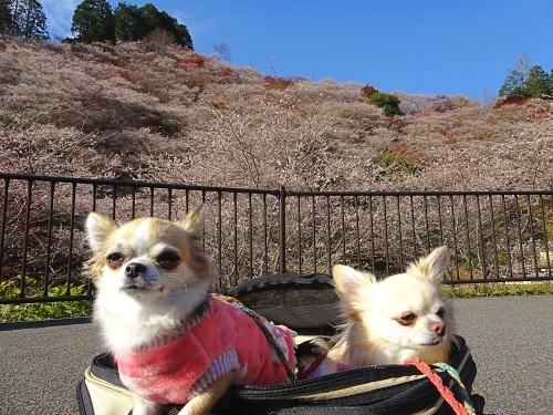 川見四季桜の里 柚子 杏子