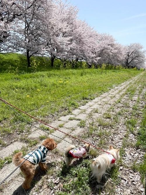 木曽三川公園背割堤桜 ひまりくん 柚子 杏子