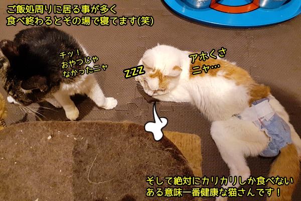 最近の我が家の猫