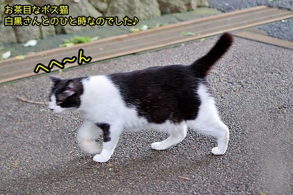 白黒 ボス猫
