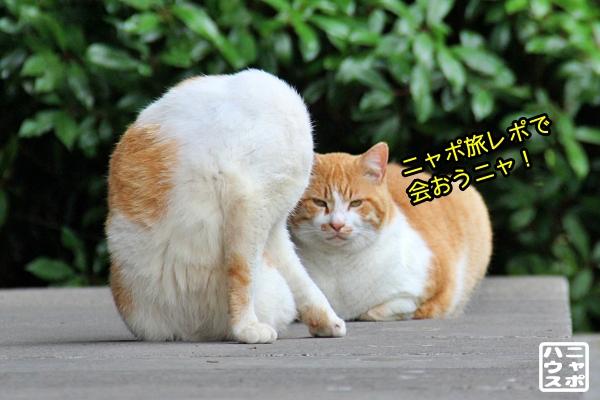 お寺 白茶猫