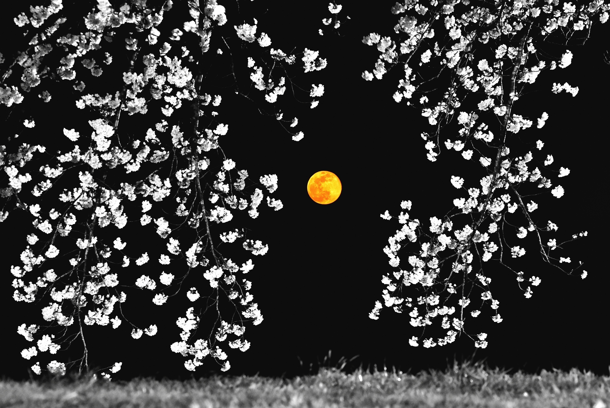 白黒桜-2s