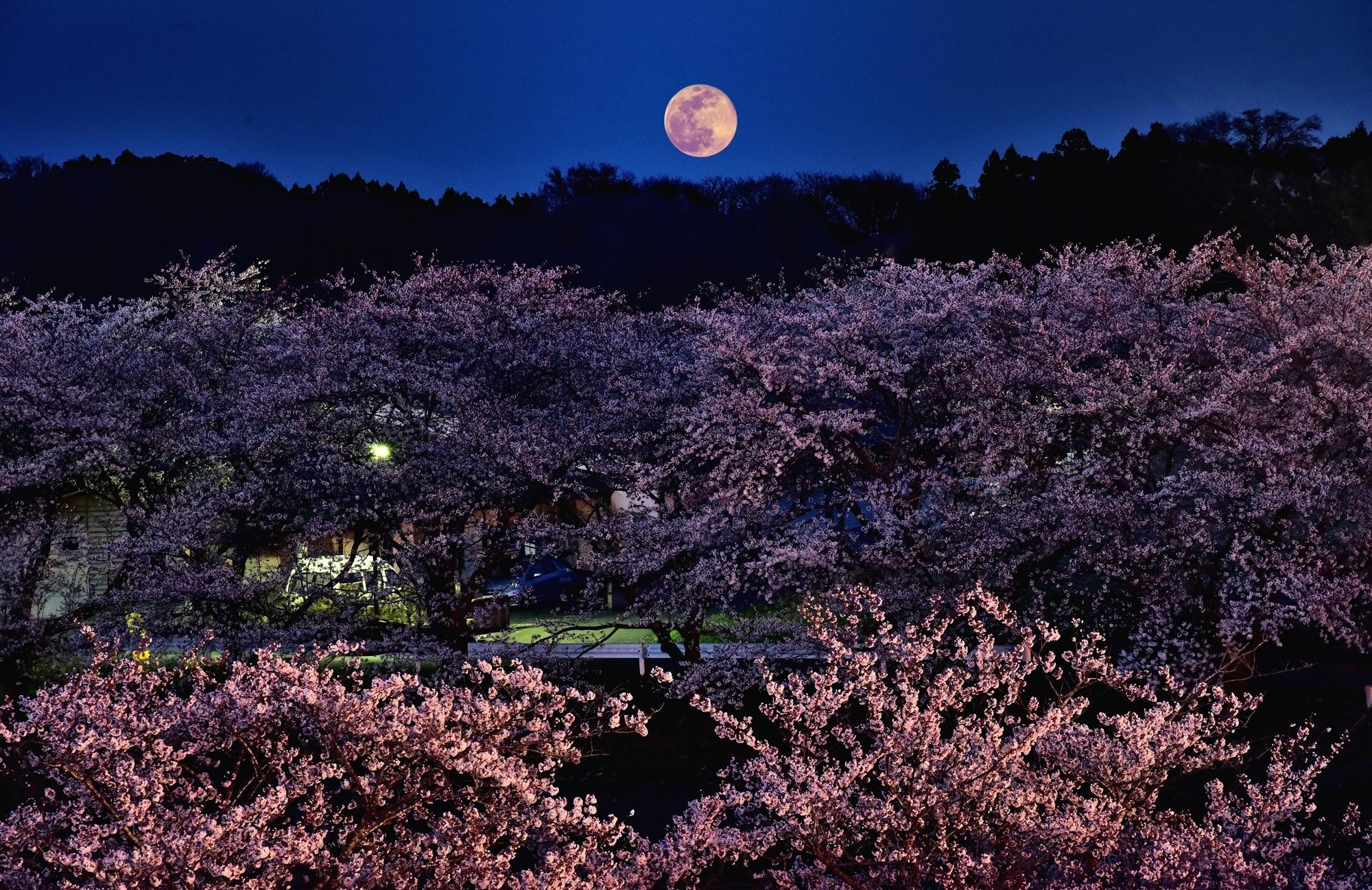 長沼桜-2s