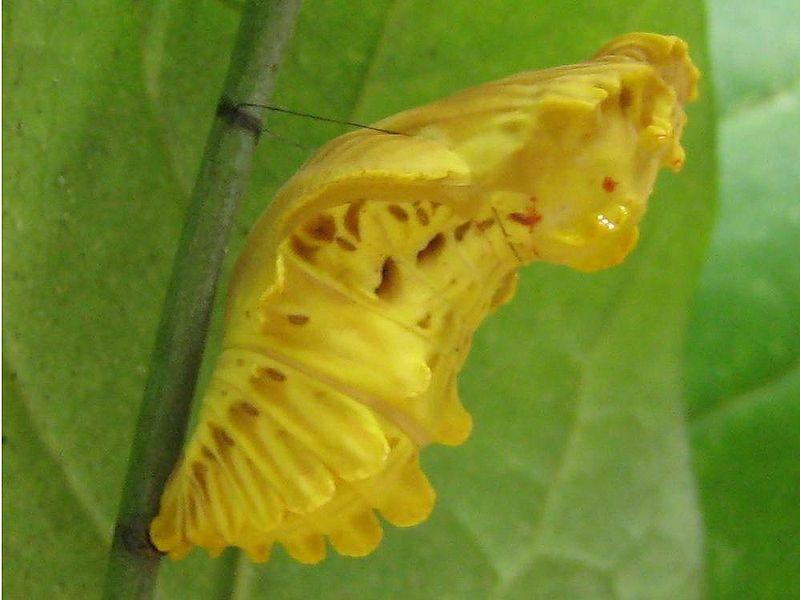 800px-ジャコウアゲハ蛹-2
