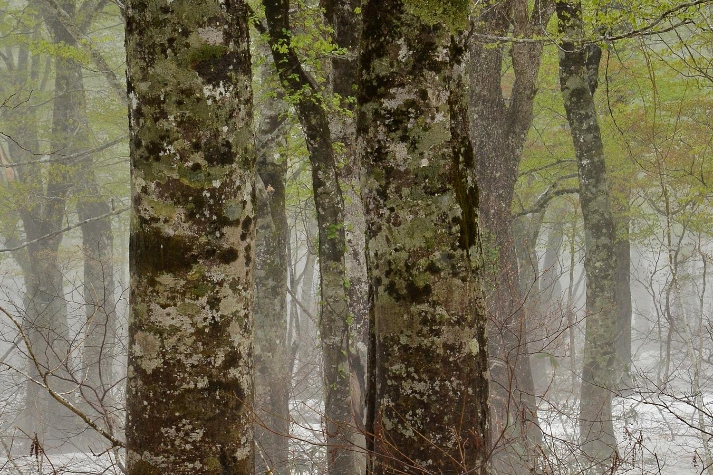 雨のブナ林 192-2tr-s