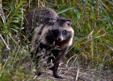 Raccoon dog432534