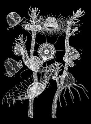 800px-PSM_V33_D765_Turritopsis.jpg