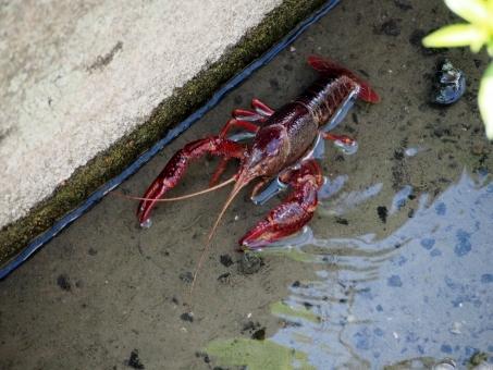 crayfish47586.jpg