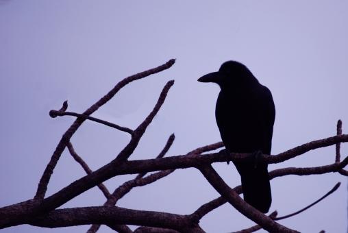 crow7858.jpg