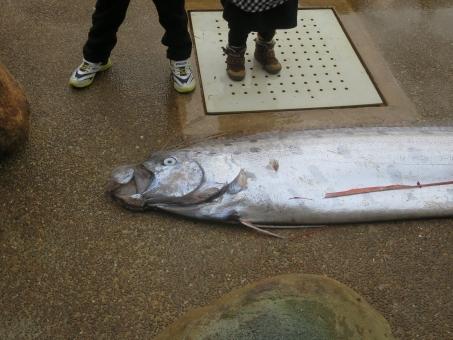 fish_ryuugunotukai6387.jpg
