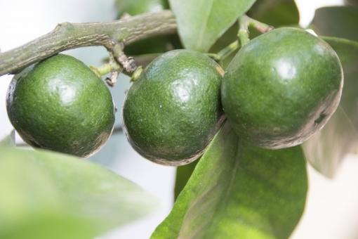 lemon343.jpg