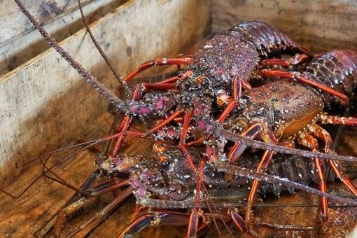 lobster368.jpg